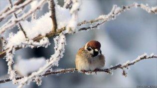 Christmas sparrow