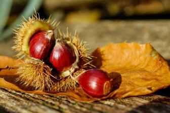 blurred background chestnuts close up color